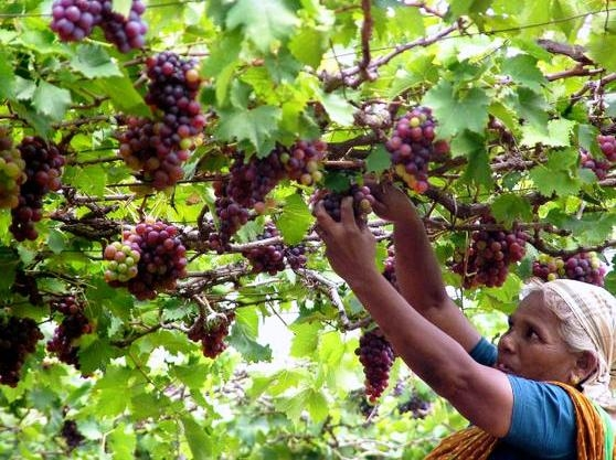 Percentage share of horticulture up by 4.6% during Twelfth Plan than 3.9%during Ninth Plan