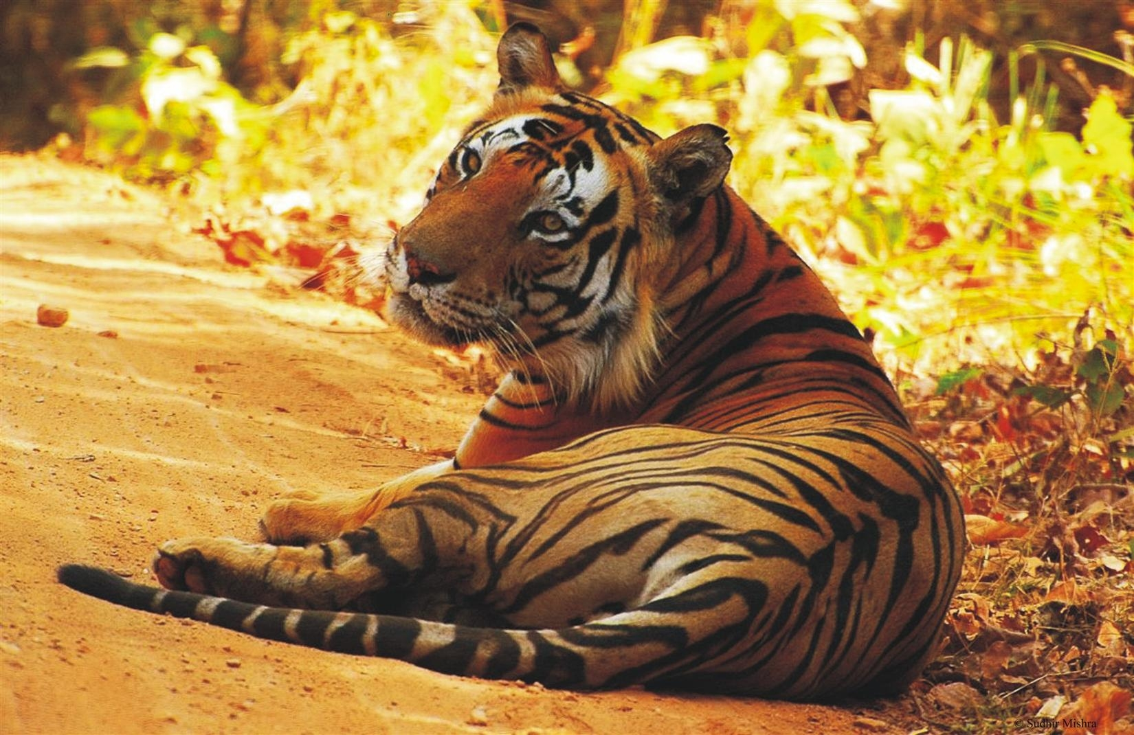India has a long standing and successful track record of protecting its tigers says Modi at Tiger conservation meet