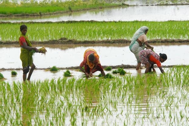 Huge rise seen in procurement of paddy; yield up by 208 lakh tonnes against previous season