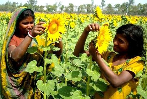 Good news for Farmers: Support price for Rabi crops increased, bonus for gram, masur, mustard and safflower cultivation