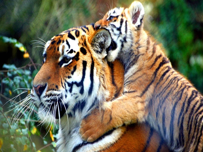 Nepal assures Hanoi meet on wildlife to double number of tigers by 2018