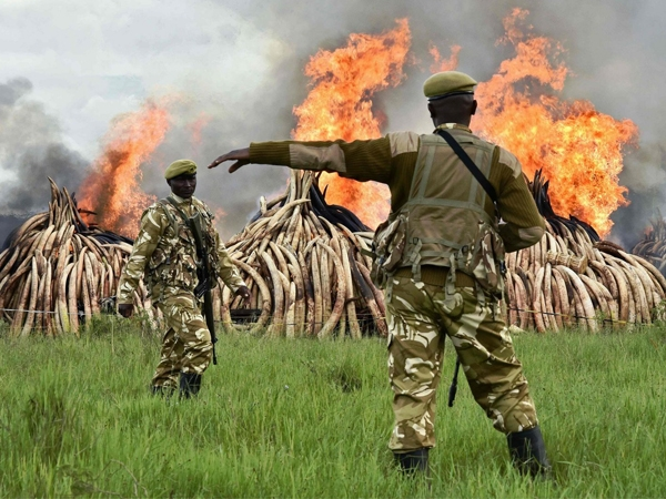 Kenny burnt 105 tons of ivory to pledge against heinous smuggling