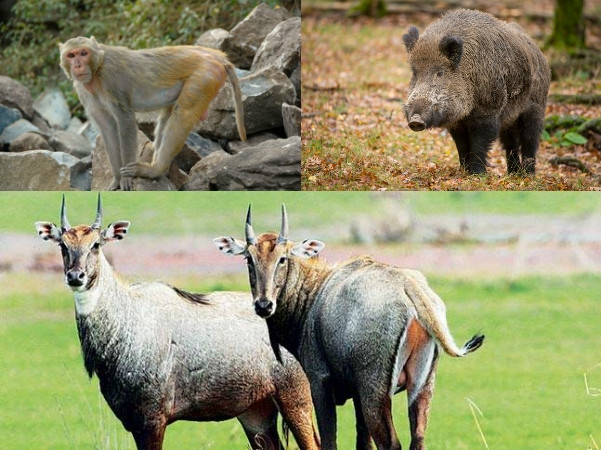 Supreme Court refuses to stay Centre' order for killing nilgai, monkey and wild boar in three states