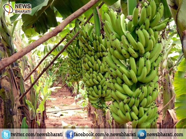 With 14.2 million tons of banana production India holds 1st position in world