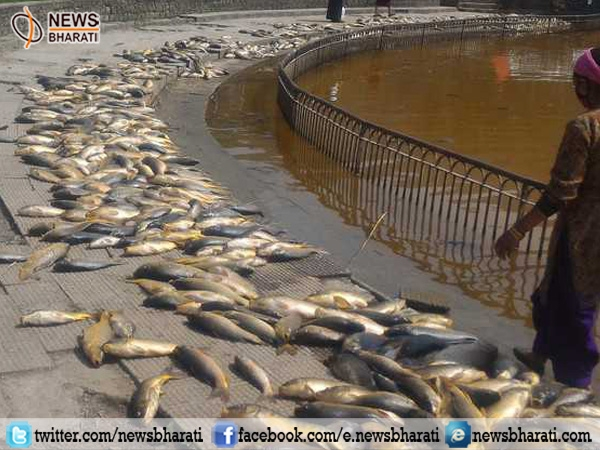 Shocking! Lack of oxygen kills thousands of fishes in Rewalsar Lake, Himachal