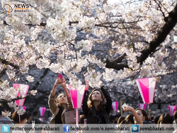 Japan drowned in the 'Cherry Blossom' festival where blooming flowers are celebrated
