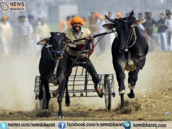 After Jalikattu and Kambala now Maharashtra legalizes bullock cart race