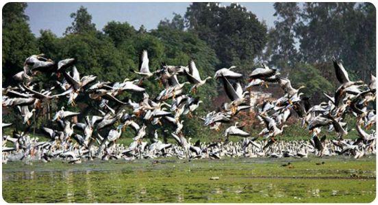 Intl tourists on India's tour: Around 5000 migratory birds flock in J&K's Gharana wetland