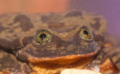 Finally 'Romeo' found his Juliet; World's loneliest frog finds a mate
