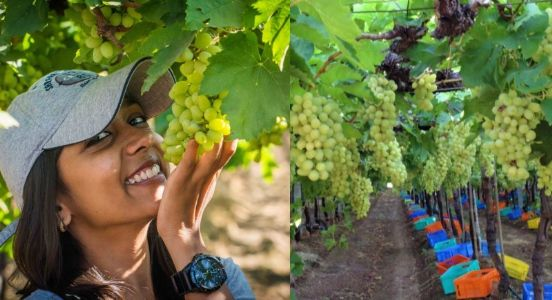 Do not cross the pest control limit..! Russia and Sri Lanka halted the export of grapes